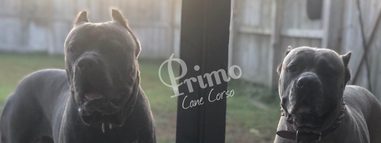 Primo Cane Corso